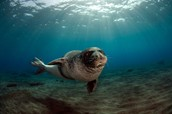 Mediterranean seal