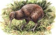 Drawing of kiwi