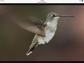 Hummingbird's wings