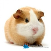 One big guinea pig