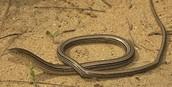 Slender Glass Lizard in Habitat