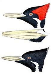 What are the characteristics of the Ivory-billed woodpecker?