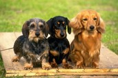 When it comes to picking out a Doxie...