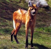 Maned Wolf Upright Position