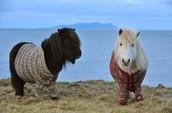 Shetland Ponies Dressed in Sweaters
