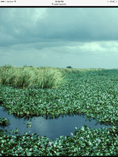 Water Hyacinth - Threatening  our fresh water natural resources
