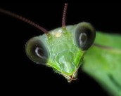 Praying mantis up close