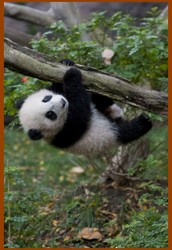 About Pandas.