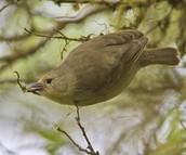 Green Warbler Finch