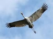 Bird (Brolga)