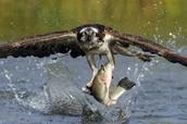 Ave pescando.
