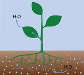How does water enter a plant and gets to the leaves?