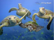 Four Loggerheads swimming in the ocean.