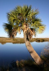 What Is a Palmetto Tree?