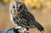The Flammulated Owl
