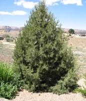 Piñon (pine) tree