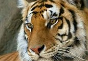 What exactly is a Bengal Tiger?