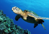 The green sea turtle is an Australian native reptile.