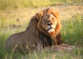 Save Cecil the Lion