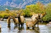 The Deer of Colorado