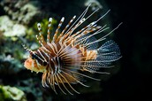 Lion fish fun facts!