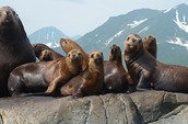 Steller Sea Lion aka Eumetopias Jubatus (Back from the Brink)