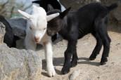 Les chèvres à la Zoo