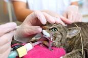 Kat met inwendig neusonderzoek