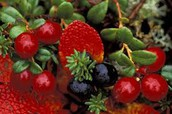 Some berries the native people eat
