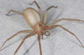 Male brown recluse