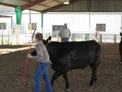This is me show my steer at the SWC five state show.