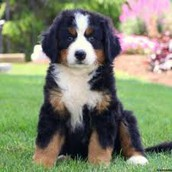 Should I get a Bernese mountain dog