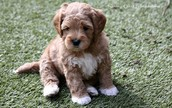 A Guide On Picking A Qualified Breeder For Labradoodle Puppies Texas