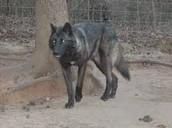 timeber wolf