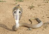 Features of the Indian cobra