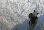 Pandas Bambo