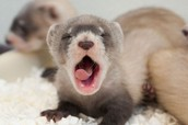 BABY BLACK FOOTED FERRET