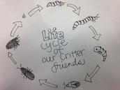 Life Cycle of a Beetle