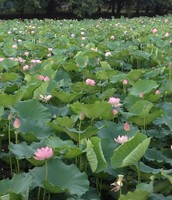 The lotus pond in full bloom