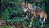 http://www.nwf.org/~/media/Content/Animals/Mammals/Foxes%20Wolves%20Coyotes/479x238/Red-Wolf_Jim-Liestman_479x275.ashx