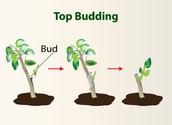 Top Budding