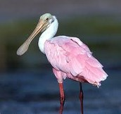 Roseate Spoonbill in Mangroves