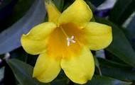 South Carolina Flower