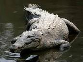 The Everglade Crocodile