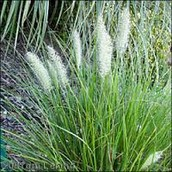 Alkali cordgrass or the latin name is spartina gracilis