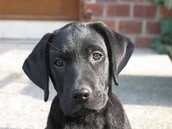 Why I like Labrador Retrievers....