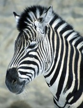 FACTS ABOUT ZEBRAS