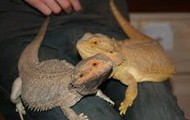 my two bearded dragons
