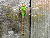 Washginton State's insect
