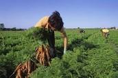 Migrant Field Laborers Harvest Carrots